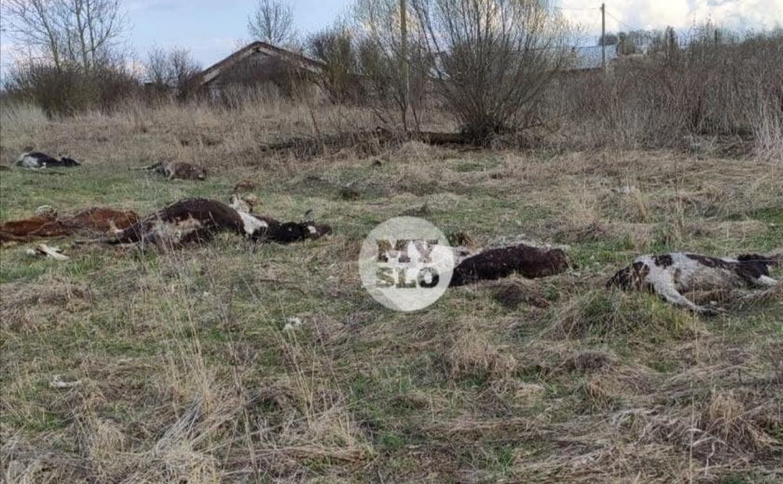 Павших коров в Тульской области проверили на сибирскую язву