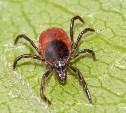 Роспотребнадзор обнародовал статистику по инфекциям от укусов клещей
