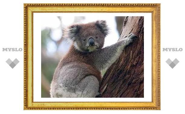 Девять тысяч австралийских коал погибло из-за вырубки леса