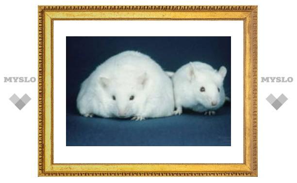 Мозг толстяков не получает сигналов об ожирении