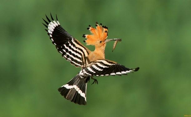 Птицей-2016 в нашей стране назван удод