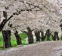 В Заречье высадят вишнёвую аллею