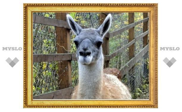 В Туле поселился лама Джимми