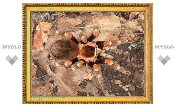 У пауков-птицеедов нашли свойства Спайдермена