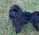 «Крик души!»: под Тулой потерялась маленькая собачка