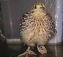 Тулячка купила в супермаркете перепелиные яйца и... вывела из них цыплят
