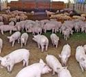 Под Тулой закрыли свиноферму, не соответствующую санитарным нормам