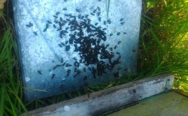 «Падают, крючатся и умирают»: Алексинцы сообщают о массовом отравлении пчёл