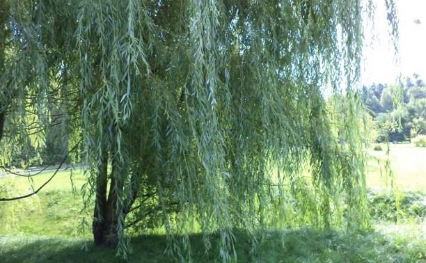 У пруда в Белоусовском парке посадят ивы