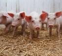 10 жителей Киреевска заразились трихинеллезом, съев испорченную свинину
