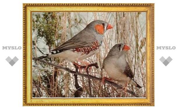В пении птиц нашли грамматические правила