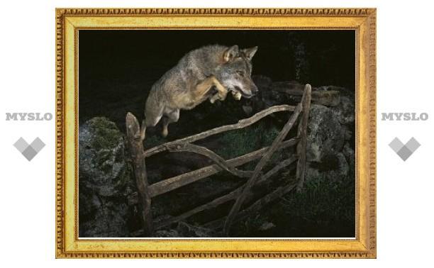 Победителя фотоконкурса лишили награды из-за дрессированного волка