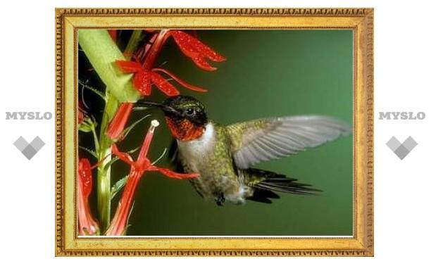 Раскрыт секрет языка колибри