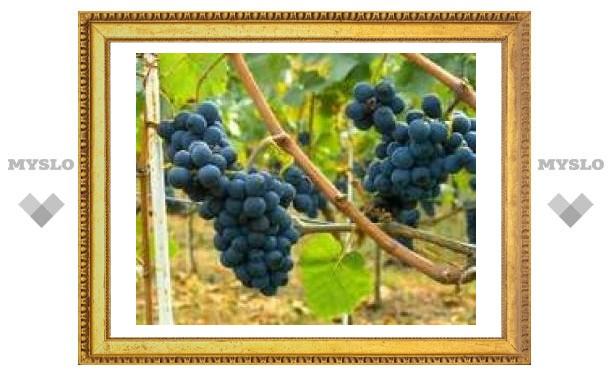 Французы расшифровали геном винограда