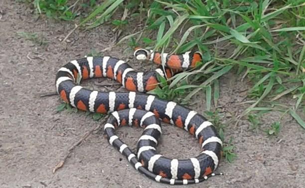 Под Алексином обнаружили змею-«потеряшку»