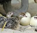 На тульской страусиной ферме появилось первое потомство
