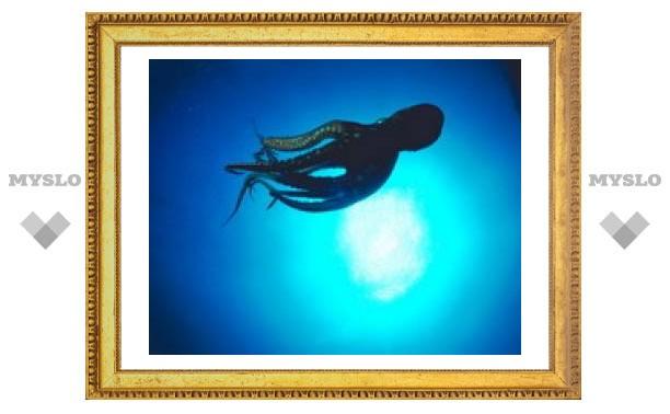 У осьминога шесть из восьми щупалец используются как руки