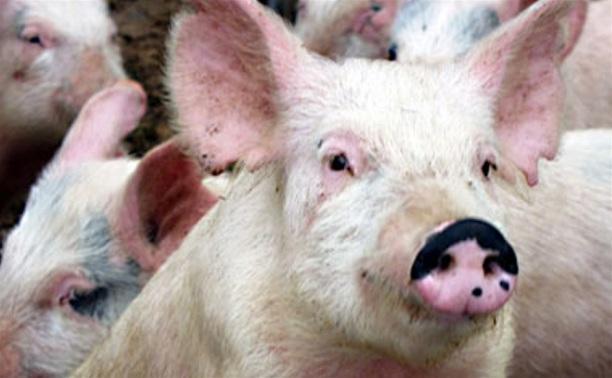Риск распространения африканской чумы свиней оценят с помощью опросника