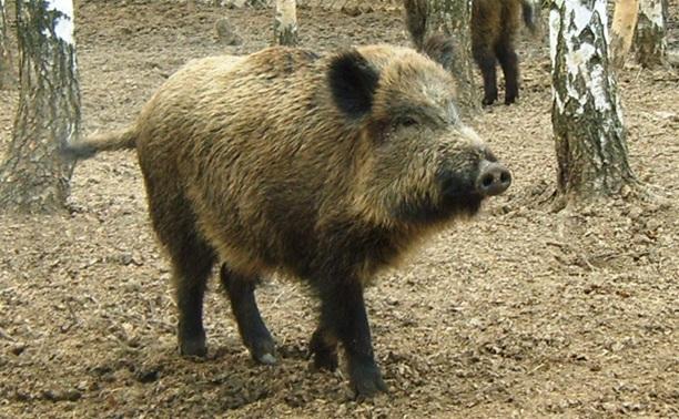В Ленинском районе сняли карантин по африканской чуме свиней