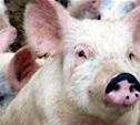 В Лазаревском Щекинского района массовый падёж свиней