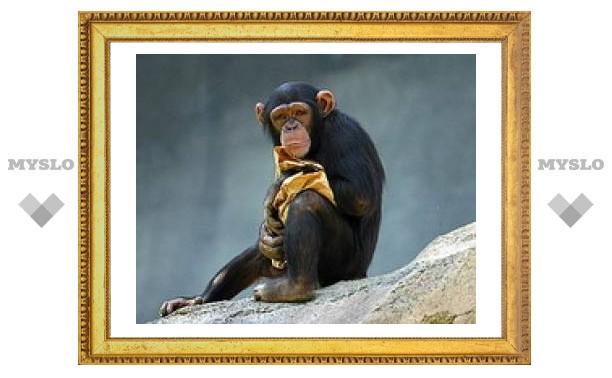 """У шимпанзе нашли """"встроенный"""" GPS"""