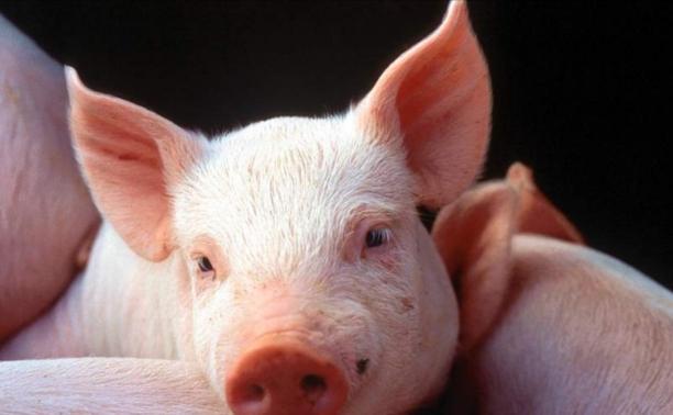 В Тульской области построят крупный свиноводческий комплекс