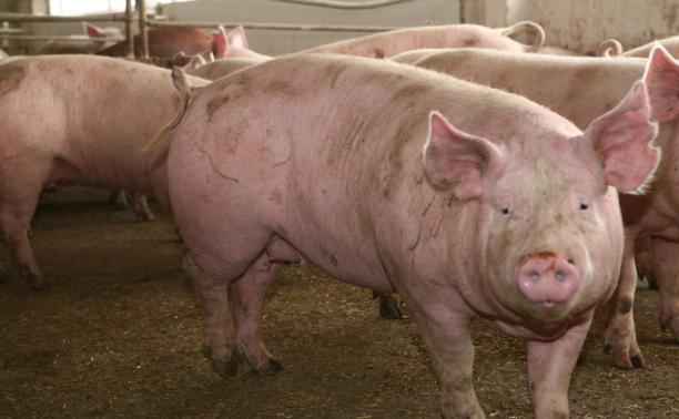 В Лазаревском поголовье скота увеличат до 40 000