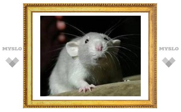 Ученые: крысы обладают секретным навигатором