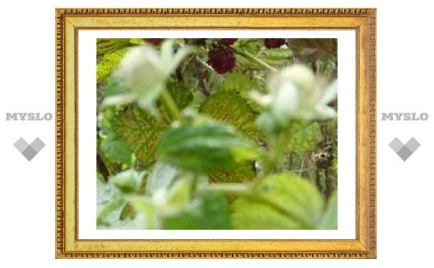В Туле зацвели яблони и малина