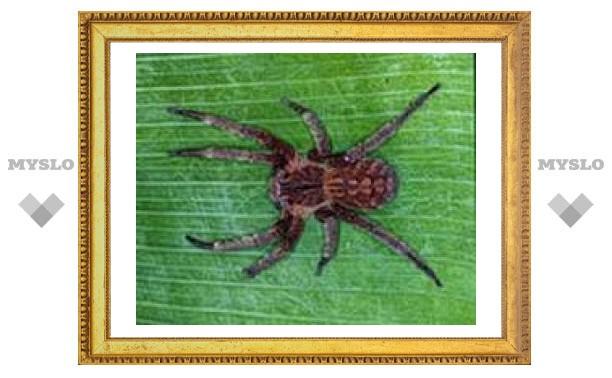 Укус ядовитого паука повышает потенцию