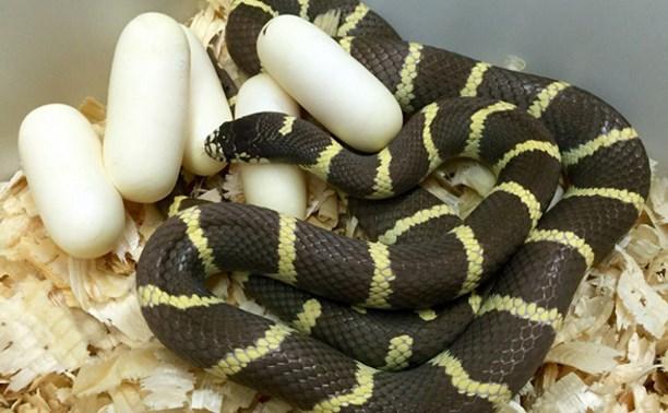 В Тульском зооэкзотариуме ожидается многочисленное потомство ужеобразных змей