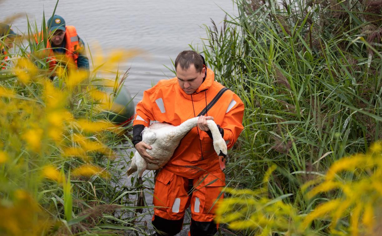 В Туле спасли лебедя с одним крылом: трогательный репортаж