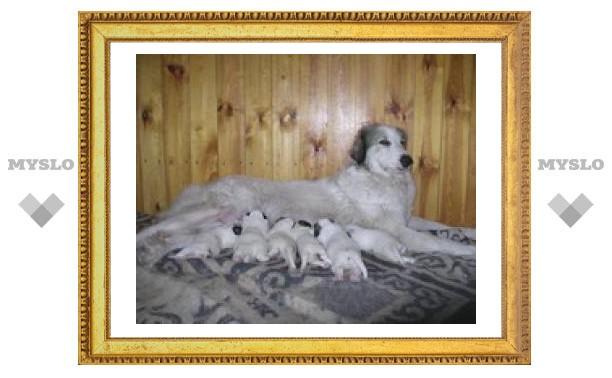 """У тульских собак """"родильный бум"""""""