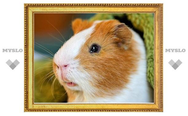 Разыскивается хозяин самой красивой морской свинки!