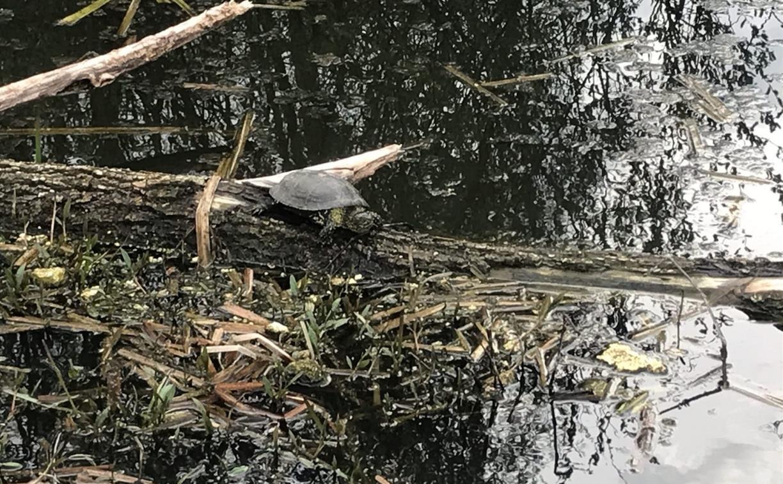 Туляки просят власти почистить пруд в Мясново, чтобы спасти редких черепах