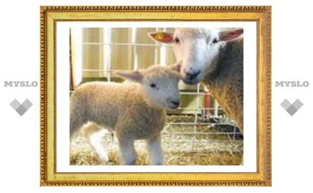 Овцы смогли забеременеть после реплантации матки