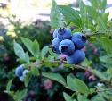 В Тульской области начнут выращивать голубику