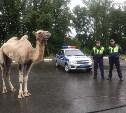 В Тульской области сбежавшего верблюда вернули в передвижной цирк