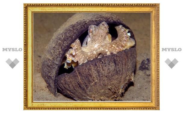 Осьминоги научились таскать с собой свой дом