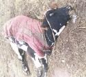 Прокуратура проверила информацию о массовой гибели коров и лошадей в деревне под Тулой