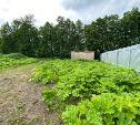 Жители села Архангельское жалуются на засилье ядовитого растения