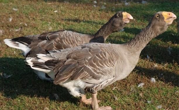 На новогодних праздниках в Туле пройдёт межрегиональная выставка птиц