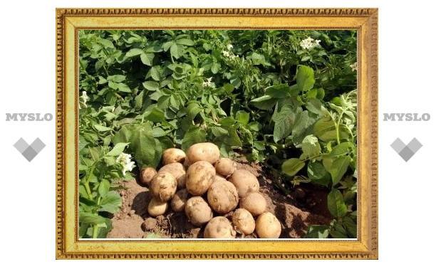 Под Тулой преступники обворовали картофельное поле