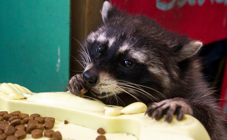 Владелица тульского Шоу ручных енотов: «Из-за карантина мне нечем кормить животных»