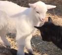 В новомосковском зоопарке родились козлята и крольчата