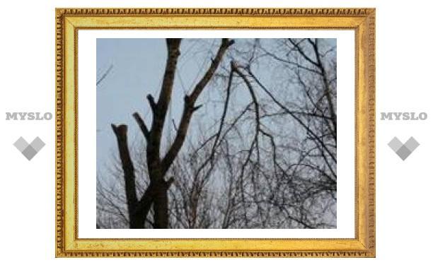 В Туле начали кронировать деревья