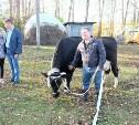 Семикласснице из Тепло-Огаревского района подарили корову