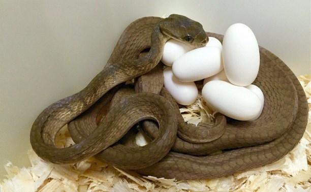 Через 4 месяца в Тульском экзотариуме появятся редкие змеята