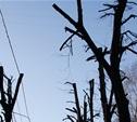 В Туле не погибло ни одно кронированное дерево