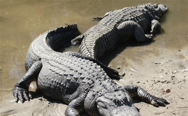 В Тулу не пустили чучело аллигатора